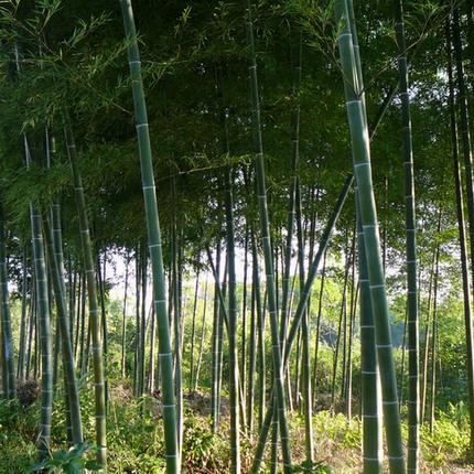 安吉天目山园艺场(竹子之乡)