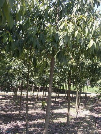 浙江省建德市狮山楠木种植场