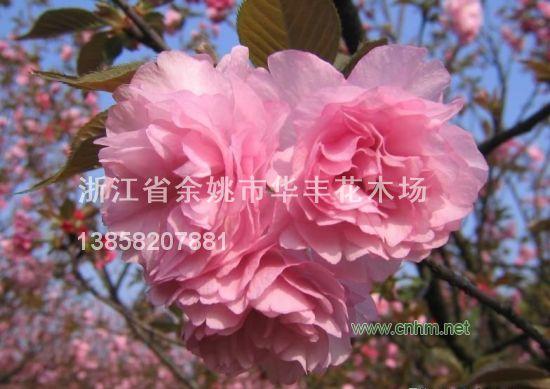 浙江省余姚市华丰花木场