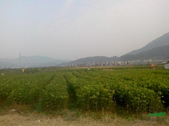 福建丹桂农业苗木基地