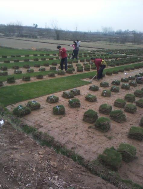 安徽滁州绿野草坪园艺场