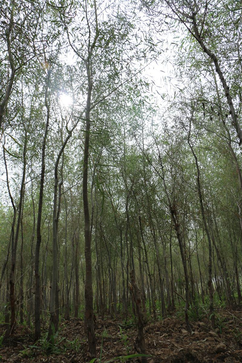 内蒙古河套地区晨光胡杨树苗培育基地
