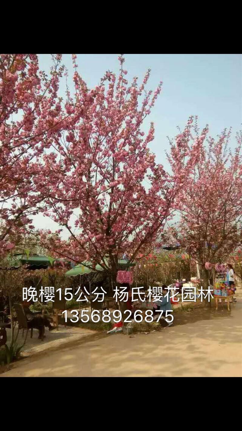 四川崇州三郎镇杨氏樱花园林基地