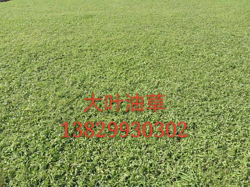 广州国明园林绿化草皮场