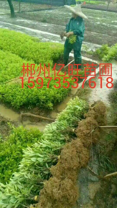郴州市苏仙区亿旺苗圃