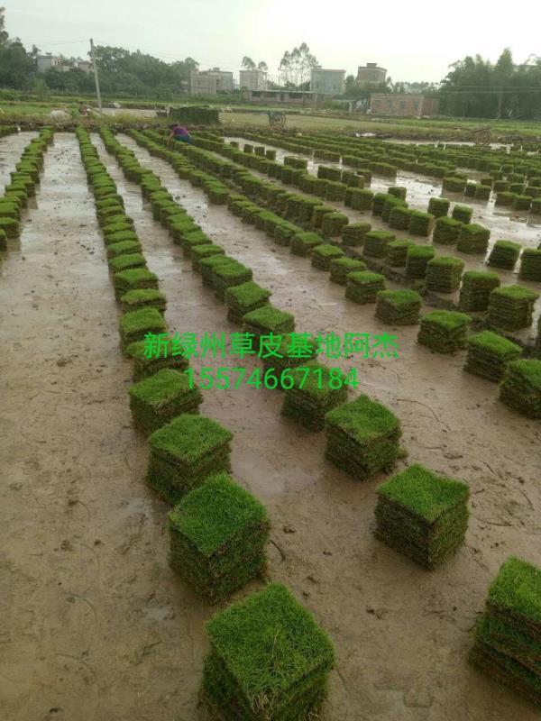 永州新绿州马尼拉草场