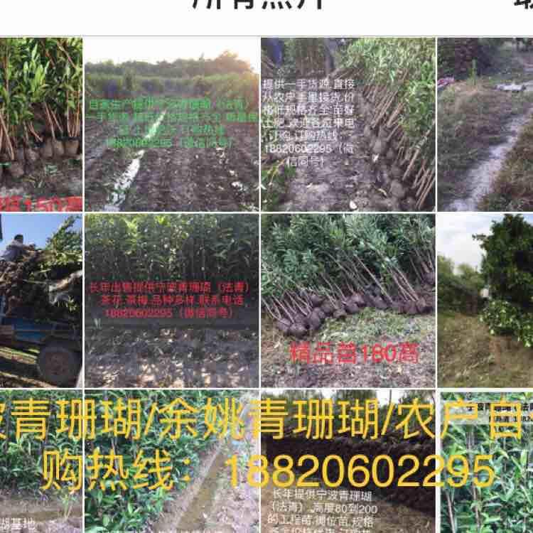 宁波小焦青珊瑚生产基地
