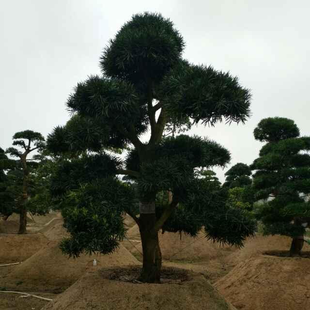 华安县绿盈苗木种植场