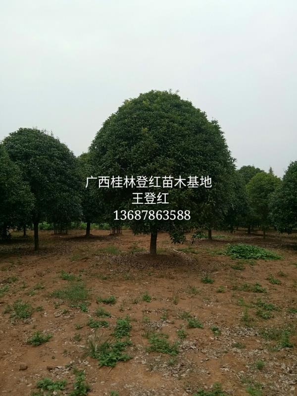 广西桂林登红苗木基地