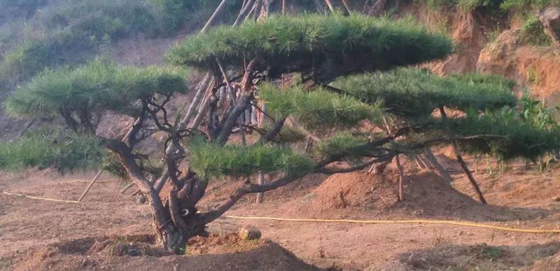 山东省莱芜市汇松园林景观松基地
