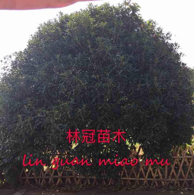 长兴林城林冠苗木场