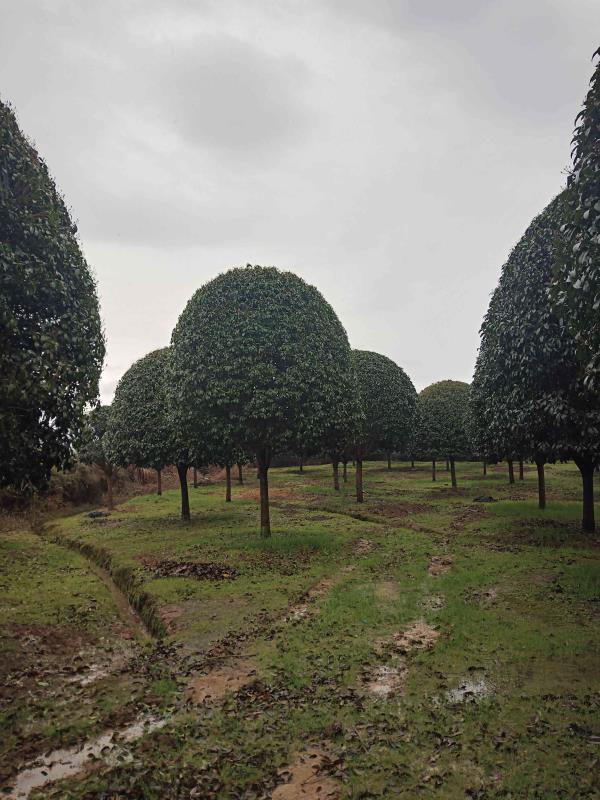 广西全州县绿潓苗木场