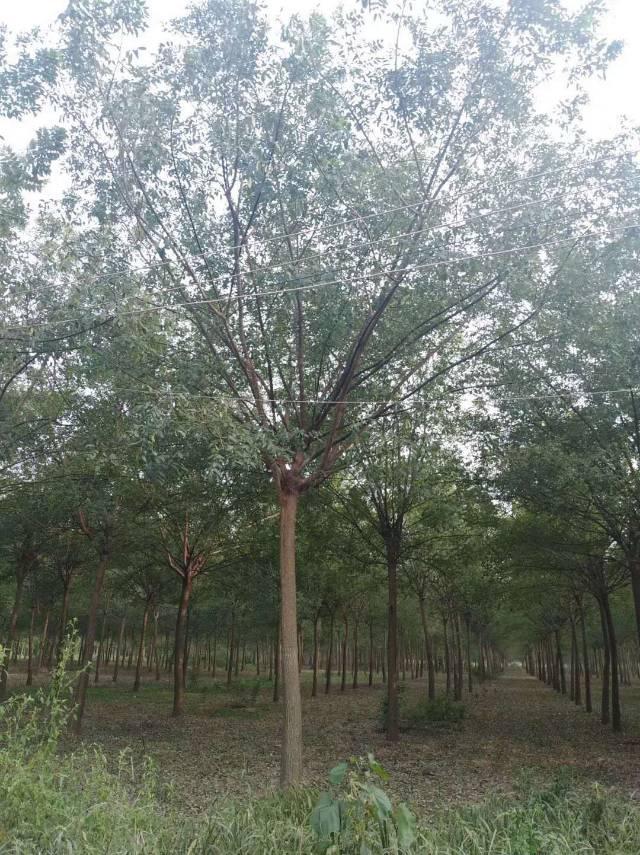 河南省许昌市鄢陵县大马乡瑞博园林苗木场