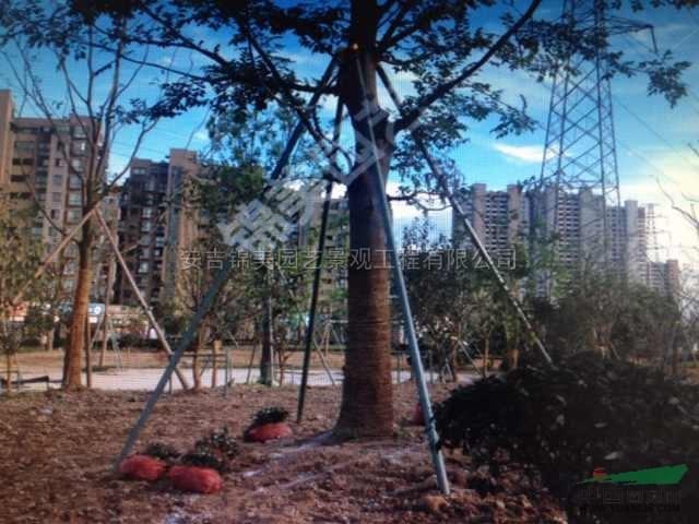 新型苗木支撑架完全可以代替竹木