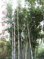 粉单竹等300种园林观赏竹苗