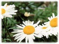 西洋甘菊种子、开花株