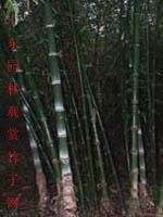 大叶龙竹等300种园林观赏竹苗