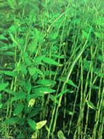 鹅毛竹等300种园林观赏竹苗
