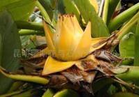 云南珍稀、珍奇花卉食用地涌金莲