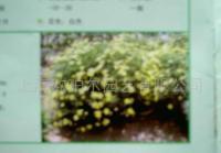 梳黄菊苗木