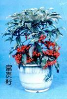 供应富贵籽(红凉伞)、桤木、枫香等
