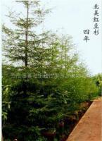 北美红杉种苗