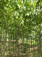 连香树、楸树、流苏树、蓝果树、银鹊树、伯乐树