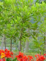 观光木、猴樟、喜树、重阳木、女贞、南酸枣