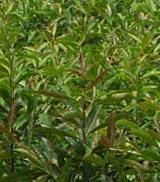 滇润楠、重阳木、杜英等绿化苗木