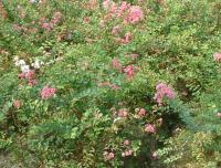 欧石楠、欧洲木绣球、日本女贞、日本樱花
