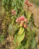 海州常山种子苗木等百种彩叶树