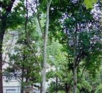 光皮树、 枇杷叶荚迷