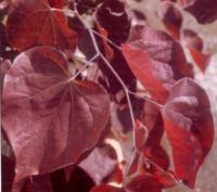 紫叶加拿大紫荆、美国红枫、尤加利