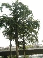 长穗鱼尾葵、董棕、美丽针葵