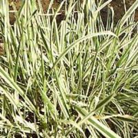 花叶燕麦草