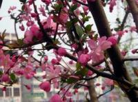桂花、红枫、樱花、红绿梅
