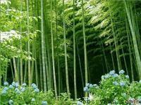 竹子,早园竹,刚竹,紫竹,窝竹,毛竹,常夏石竹,铺地竹,箬竹