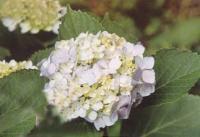 醉蝶花、八仙花、桔梗、荷兰菊