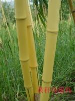 黄秆乌哺鸡竹