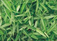 方竹、绿槽刚竹、黄金竹、小琴丝竹