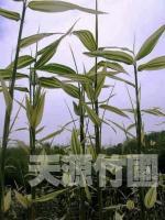 白纹阴阳竹