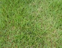 各种绿化草坪、沙培果岭草、马尼拉、百慕大