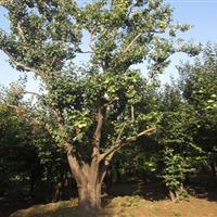 欧美107杨、白腊、楸树、杜英、重阳木、杨梅、川楝、柿树