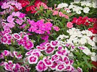 一串红、万寿菊、孔雀草、金盏菊、太阳花、矮牵牛、荷兰菊佛草甲
