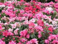 春鹃、毛鹃、夏鹃、紫鹃、红宝石海棠、四季海棠、梨花海棠