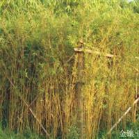 早园竹价格、刚竹价格、紫竹价格窝竹价格石竹价格阔叶箬竹价格表