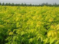 平枝旬子、黄栌、海州常山、黄连木等国产林木种子