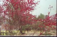 红叶碧桃、红叶李、红花垂枝桃、夹竹桃、棕榈