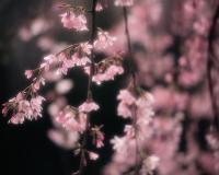 紫薇、花石榴、罗汉松、红梅、桂花