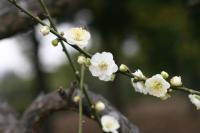 江南槐、麻叶绣球、银芽柳、贴梗海棠